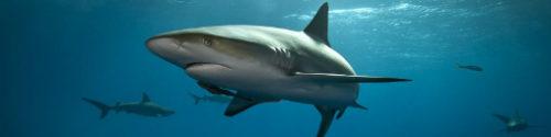 shark1